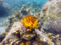 Anemone coral reef red yellow in andaman Royalty Free Stock Images