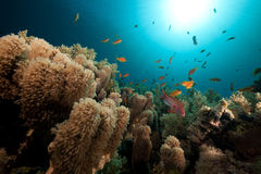 Anemone coral and tropical underwater life. Royalty Free Stock Image
