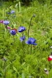 Anemone Coronaria Στοκ Εικόνα