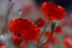 Anemone Coronaria Στοκ Εικόνες