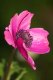 Anemone Coronaria Στοκ εικόνες με δικαίωμα ελεύθερης χρήσης