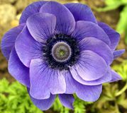 Anemone Coronaria Στοκ εικόνα με δικαίωμα ελεύθερης χρήσης