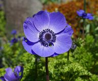 Anemone Coronaria Blue Poppy flower close up on colorful background. Also known as Spanish Marigold and Windflower stock photo