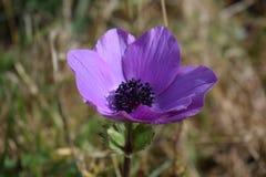 Anemone Coronaria Close para arriba imágenes de archivo libres de regalías