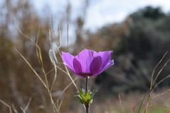 Anemone Coronaria Close upp sida arkivfoton
