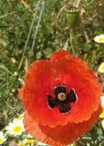 Anemone Coronaria stock fotografie