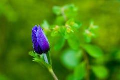 Anemone coronaria flower Stock Photo