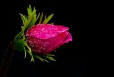 Anemone coronaria royalty free stock images