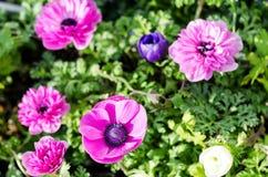 Anemone coronaria flowers. Royalty Free Stock Photo