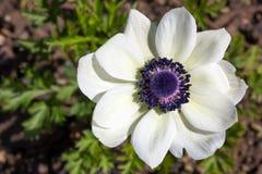Free Anemone Coronaria Or Poppy Anemone Stock Images - 91488514