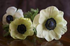 Anemone Coronaria-papaveranemoon royalty-vrije stock fotografie