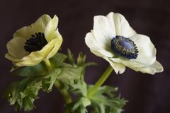 Anemone Coronaria-papaveranemoon stock afbeeldingen