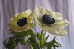 Anemone Coronaria-papaveranemoon royalty-vrije stock afbeelding