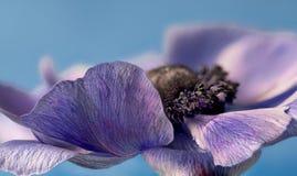 Free Anemone Coronaria, Petals Sharp Stock Photo - 180688430