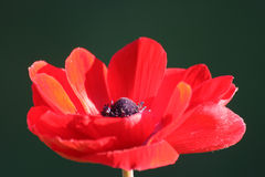 Anemone coronaria  or poppy anemone Stock Photography