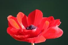 Anemone coronaria  or poppy anemone Stock Photography