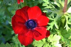 Anemone coronaria  or poppy anemone Royalty Free Stock Photo