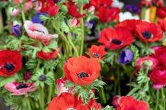 Free Anemone Coronaria, Poppy Or Windflower Background, Texture Stock Image - 215488541