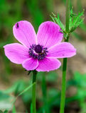 Anemone coronaria Stock Photo