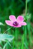 Anemone coronaria Royalty Free Stock Image