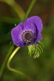 Anemone Coronaria 2 Stock Photography