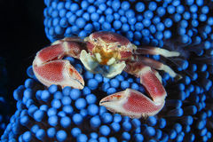 Anemone crab Stock Image