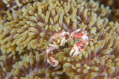 Anemone crab feeding Stock Image