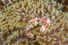 Anemone crab feeding. Neopetrolisthes ohshimai  porcelain crab on the anemone Stock Image