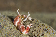 Anemone crab feeding Royalty Free Stock Images
