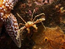 Anemone crab (Inachus) Stock Image