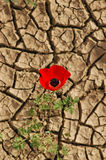 Anemone on a cracked mud background. Flourishing anemone grows from a cracked dry ground Stock Photos