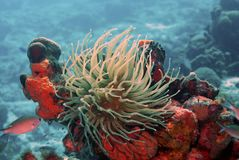 Anemone in the current. A strong current whips an anemone around stock images