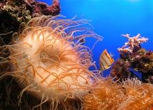 Anemone da água Foto de Stock Royalty Free