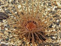 Anemone da moradia da câmara de ar Imagens de Stock
