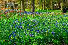 Anemone and daffodils lane Royalty Free Stock Image