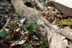 An anemone in the Danish spring forest stock photography
