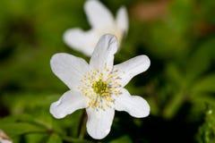 Anemone de madeira Fotos de Stock Royalty Free