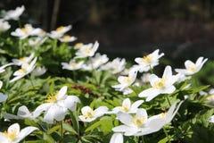 Anemone de madeira (nemorosa do anemone) imagens de stock royalty free