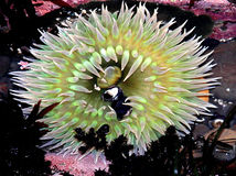 Anemone de mar Fotos de Stock