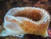 Anemone de mar Imagem de Stock