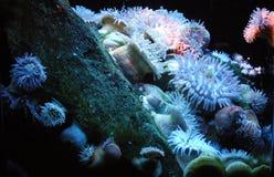Anemone de mar Fotografia de Stock