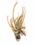 Anemone de mar isolado Foto de Stock