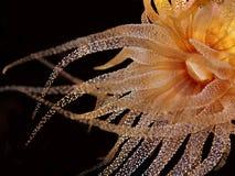Anemone del Yellow Sea immagini stock