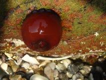 Anemone della perlina Fotografia Stock