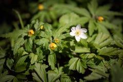 Anemone della primavera Fotografia Stock Libera da Diritti