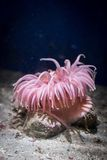 Anemone Stock Images