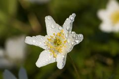 Anemone in dew Stock Photo