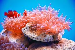 anemone di Bolla-punta immagine stock libera da diritti