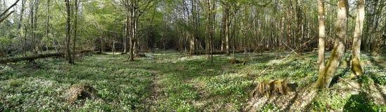 Anemone di fioritura nel panorama di primavera immagine stock