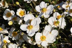 Anemone di Janese immagine stock